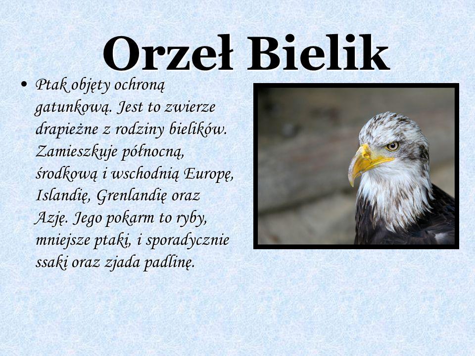 Orzeł Bielik Ptak objęty ochroną gatunkową. Jest to zwierze z rodziny bielików. Zamieszkuje północną, środkową i wschodnią Europę, Islandię, Grenlandi