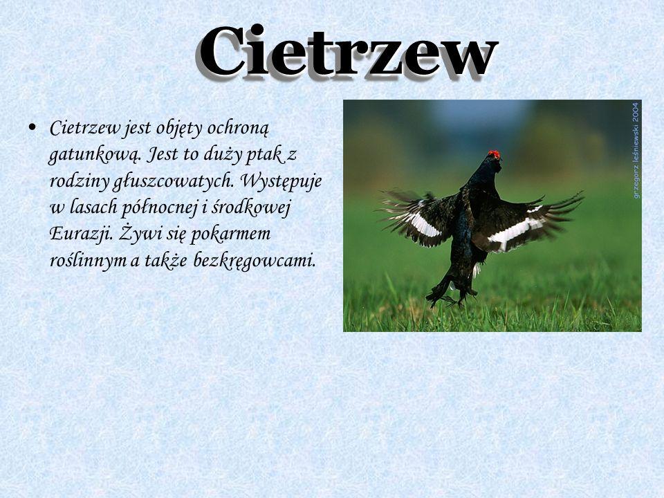 CietrzewCietrzew Cietrzew jest objęty ochroną gatunkową. Jest to duży ptak z rodziny głuszcowatych. Występuje w lasach północnej i środkowej Eurazji.