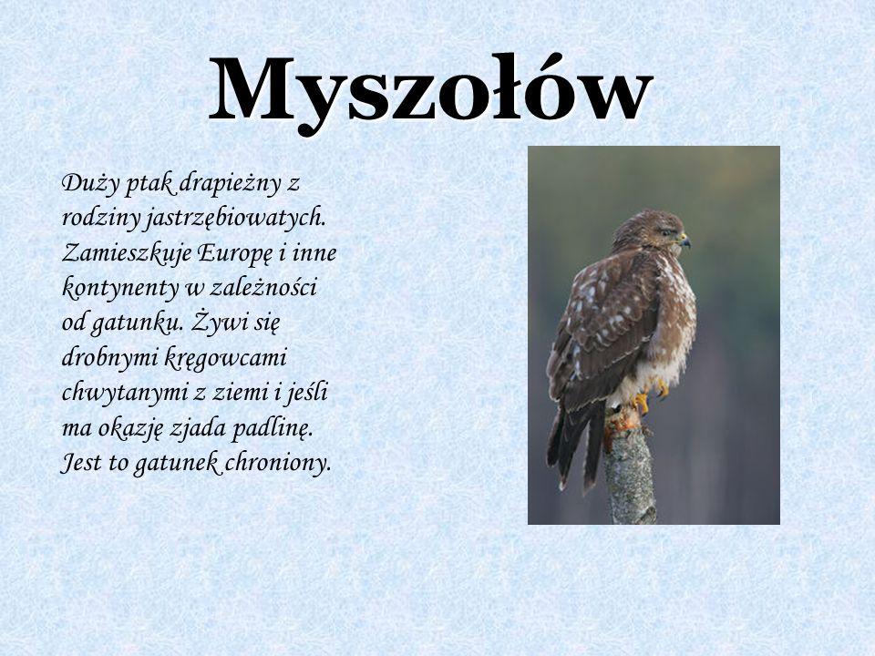 Myszołów Duży ptak drapieżny z rodziny jastrzębiowatych. Zamieszkuje Europę i inne kontynenty w zależności od gatunku. Żywi się drobnymi kręgowcami ch