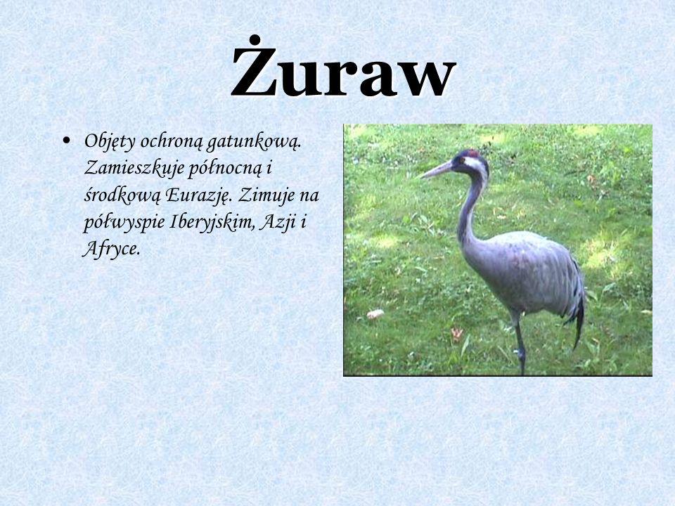 Żuraw Objęty ochroną gatunkową. Zamieszkuje północną i środkową Eurazję. Zimuje na półwyspie Iberyjskim, Azji i Afryce.