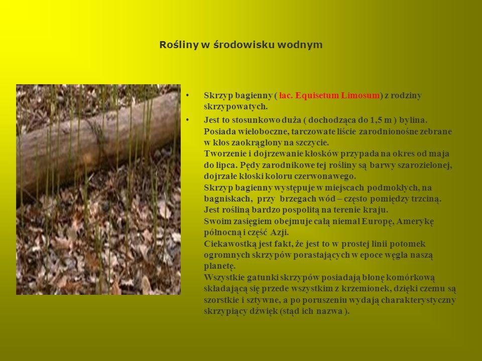 Rośliny w środowisku wodnym Skrzyp bagienny ( łac. Equisetum Limosum) z rodziny skrzypowatych. Jest to stosunkowo duża ( dochodząca do 1,5 m ) bylina.