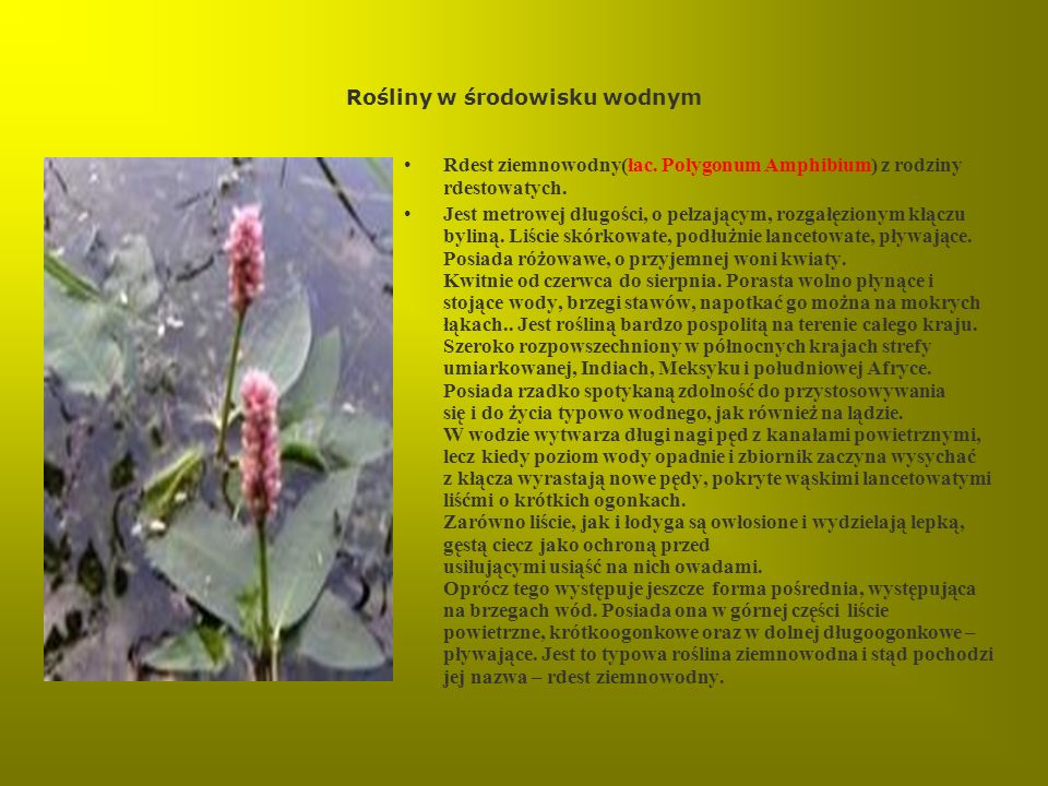 Rośliny w środowisku wodnym Rdest ziemnowodny(łac. Polygonum Amphibium) z rodziny rdestowatych. Jest metrowej długości, o pełzającym, rozgałęzionym kł