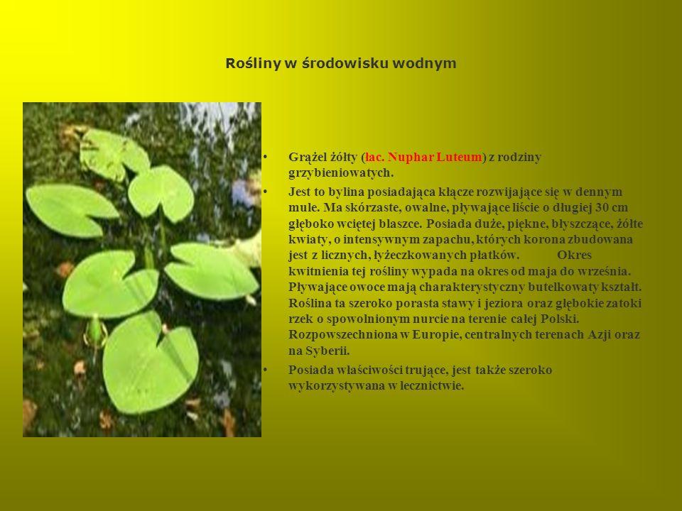 Rośliny w środowisku wodnym Grążel żółty (łac. Nuphar Luteum) z rodziny grzybieniowatych. Jest to bylina posiadająca kłącze rozwijające się w dennym m