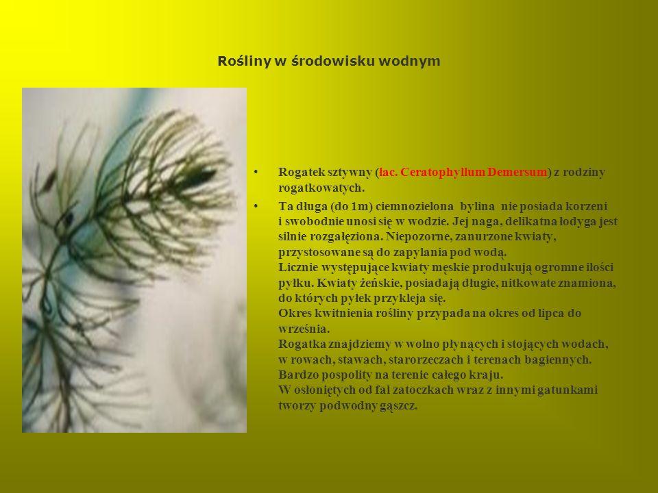 Rośliny w środowisku wodnym Rogatek sztywny (łac. Ceratophyllum Demersum) z rodziny rogatkowatych. Ta długa (do 1m) ciemnozielona bylina nie posiada k