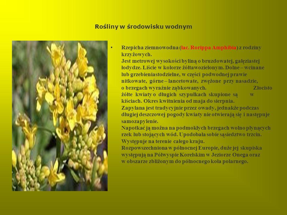 Rośliny w środowisku wodnym Rzepicha ziemnowodna (łac. Rorippa Amphibia) z rodziny krzyżowych. Jest metrowej wysokości byliną o bruzdowatej, gałęziast