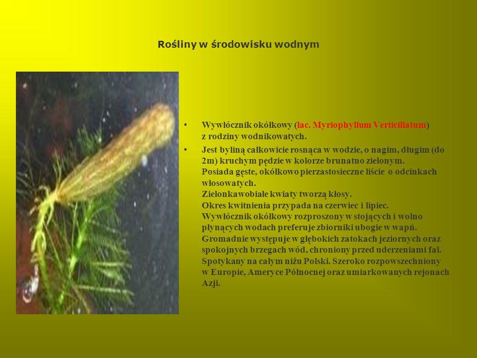 Rośliny w środowisku wodnym Wywłócznik okółkowy (łac. Myriophyllum Verticillatum) z rodziny wodnikowatych. Jest byliną całkowicie rosnąca w wodzie, o