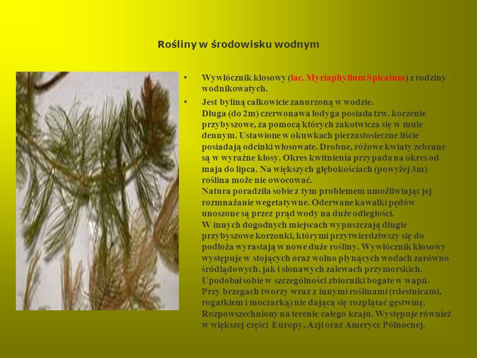 Rośliny w środowisku wodnym Wywłócznik kłosowy (łac. Myriaphyllum Spicatum) z rodziny wodnikowatych. Jest byliną całkowicie zanurzoną w wodzie. Długa