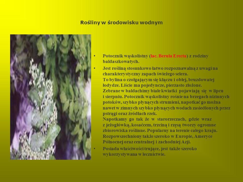 Rośliny w środowisku wodnym Potocznik wąskolistny (łac. Berula Erecta) z rodziny baldaszkowatych. Jest rośliną stosunkowo łatwo rozpoznawalną z uwagi