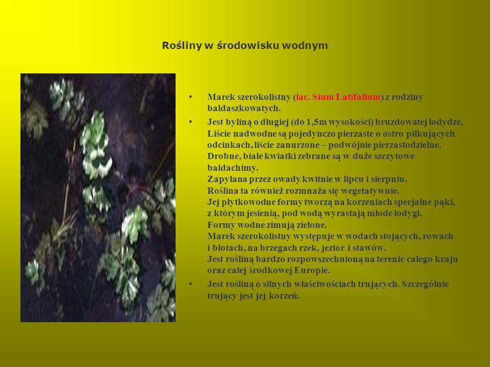 Rośliny w środowisku wodnym Marek szerokolistny (łac. Sium Latifalium) z rodziny baldaszkowatych. Jest byliną o długiej (do 1,5m wysokości) bruzdowate