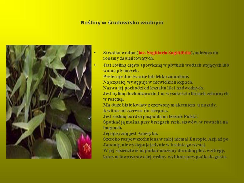Rośliny w środowisku wodnym Strzałka wodna ( łac. Sagittaria Sagittifolia), należąca do rodziny żabieńcowatych. Jest rośliną często spotykaną w płytki