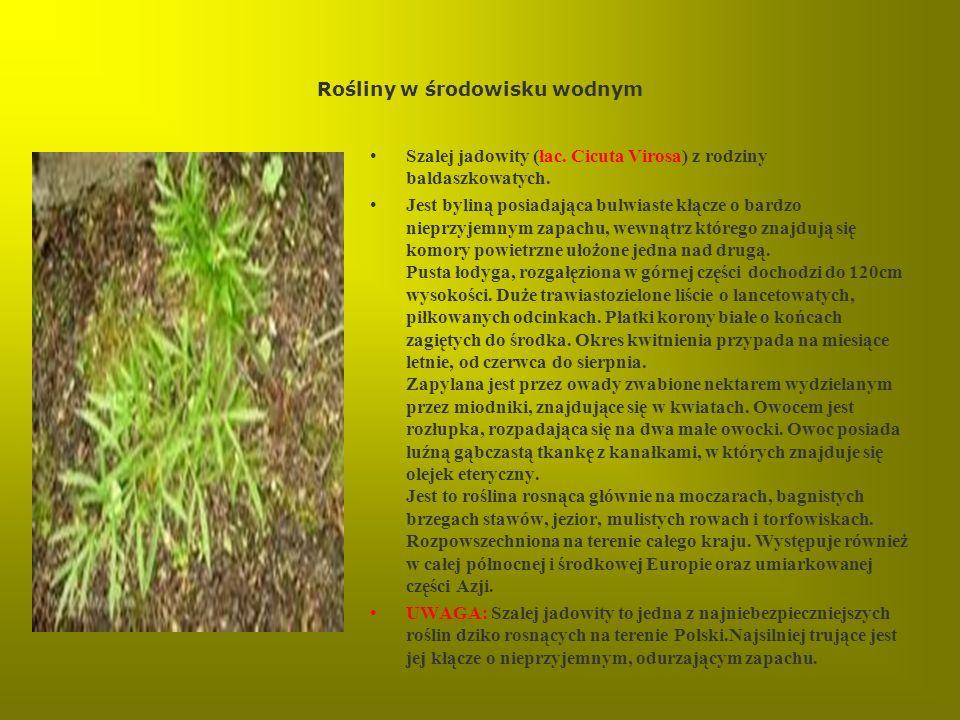 Rośliny w środowisku wodnym Szalej jadowity (łac. Cicuta Virosa) z rodziny baldaszkowatych. Jest byliną posiadająca bulwiaste kłącze o bardzo nieprzyj
