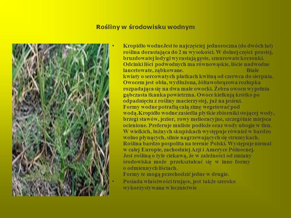 Rośliny w środowisku wodnym Kropidło wodneJest to najczęściej jednoroczna (do dwóch lat) roślina dorastająca do 2 m wysokości. W dolnej części prostej