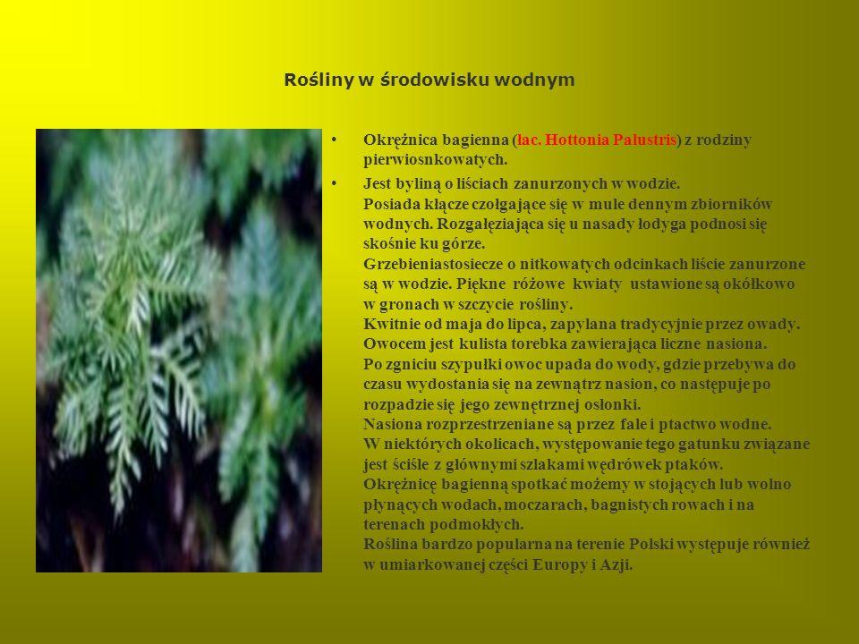 Rośliny w środowisku wodnym Okrężnica bagienna (łac. Hottonia Palustris) z rodziny pierwiosnkowatych. Jest byliną o liściach zanurzonych w wodzie. Pos
