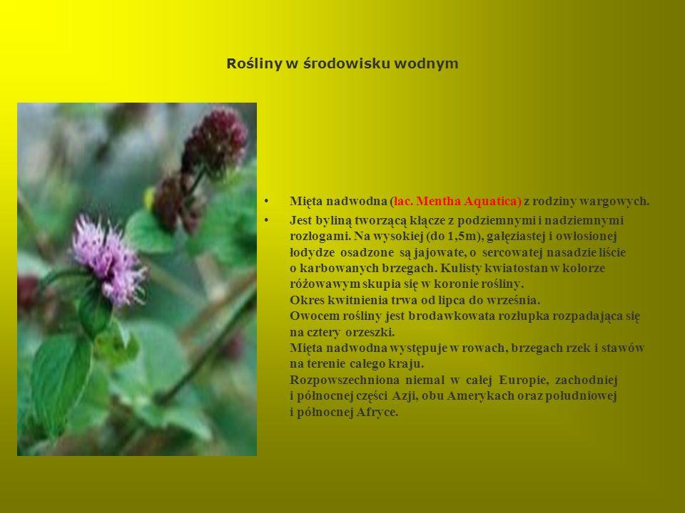 Rośliny w środowisku wodnym Mięta nadwodna (łac. Mentha Aquatica) z rodziny wargowych. Jest byliną tworzącą kłącze z podziemnymi i nadziemnymi rozłoga