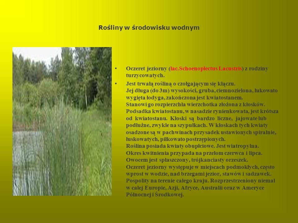 Rośliny w środowisku wodnym Oczeret jeziorny (łac.Schoenoplectus Lacustris) z rodziny turzycowatych. Jest trwałą rośliną o czołgającym się kłączu. Jej