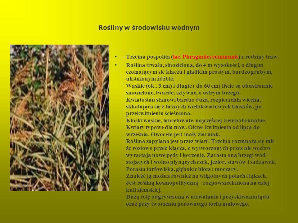 Rośliny w środowisku wodnym Trzcina pospolita (łac. Phragmites communis) z rodziny traw. Roślina trwała, sinozielona, do 4 m wysokości, o długim czołg