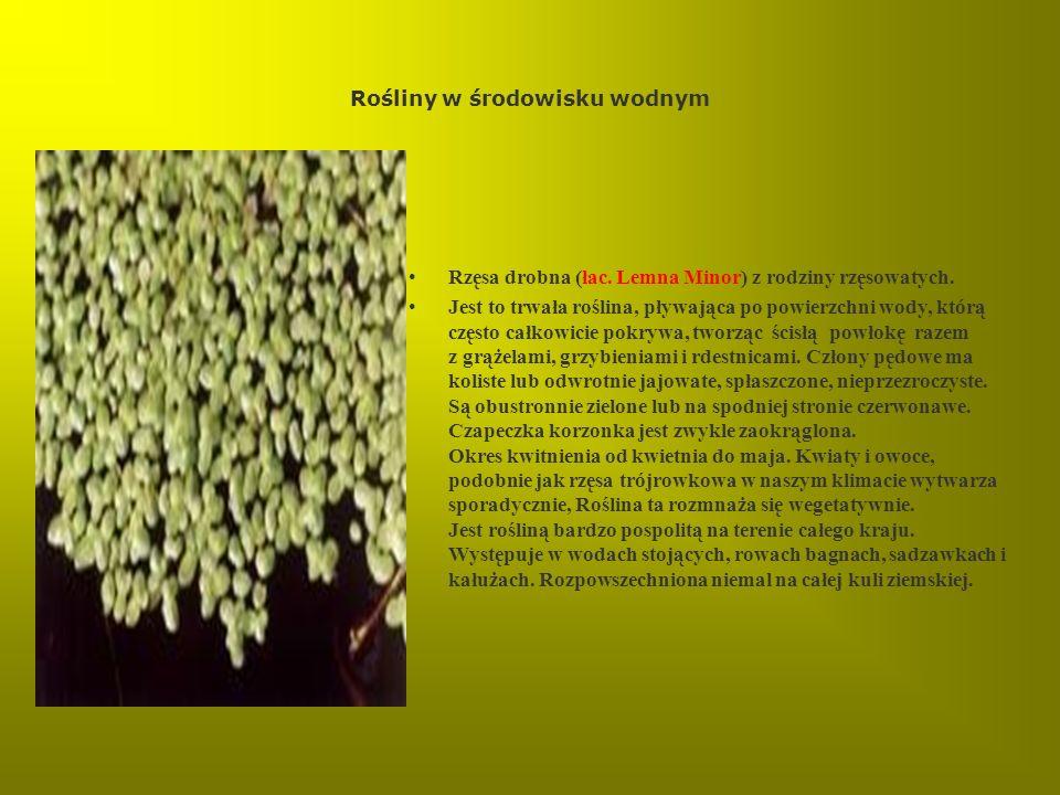 Rośliny w środowisku wodnym Rzęsa drobna (łac. Lemna Minor) z rodziny rzęsowatych. Jest to trwała roślina, pływająca po powierzchni wody, którą często
