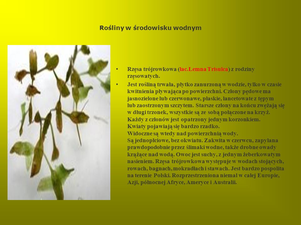 Rośliny w środowisku wodnym Rzęsa trójrowkowa (łac.Lemna Trisulca) z rodziny rzęsowatych. Jest rośliną trwała, płytko zanurzoną w wodzie, tylko w czas