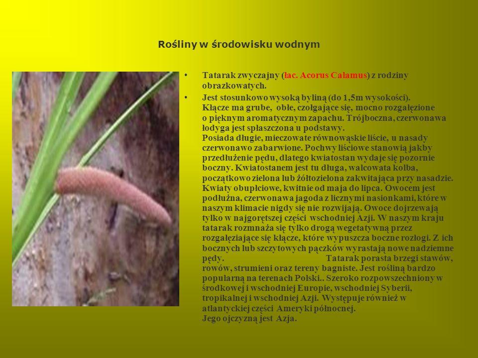 Rośliny w środowisku wodnym Tatarak zwyczajny (łac. Acorus Calamus) z rodziny obrazkowatych. Jest stosunkowo wysoką byliną (do 1,5m wysokości). Kłącze