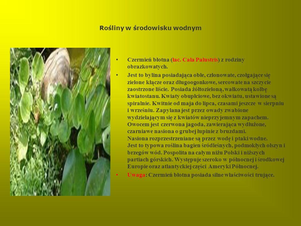 Rośliny w środowisku wodnym Czermień błotna (łac. Cala Palustris) z rodziny obrazkowatych. Jest to bylina posiadająca obłe, członowate, czołgające się