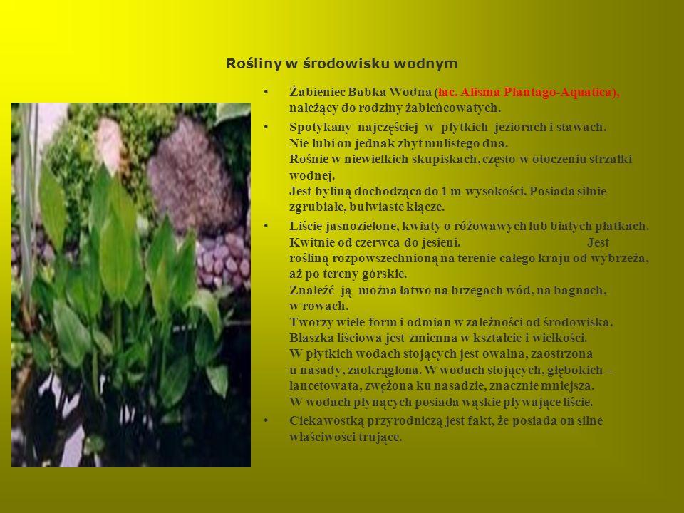 Rośliny w środowisku wodnym Żabieniec Babka Wodna (łac. Alisma Plantago-Aquatica), należący do rodziny żabieńcowatych. Spotykany najczęściej w płytkic