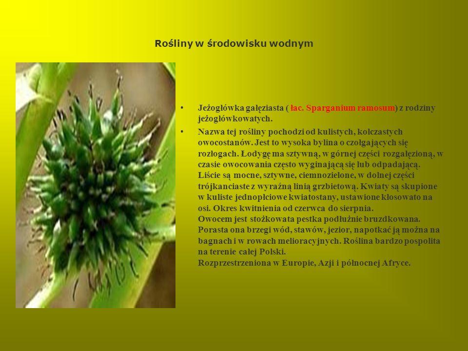 Rośliny w środowisku wodnym Jeżogłówka gałęziasta ( łac. Sparganium ramosum) z rodziny jeżogłówkowatych. Nazwa tej rośliny pochodzi od kulistych, kolc