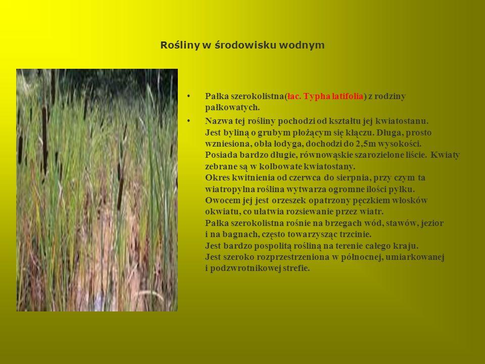 Rośliny w środowisku wodnym Pałka szerokolistna(łac. Typha latifolia) z rodziny pałkowatych. Nazwa tej rośliny pochodzi od kształtu jej kwiatostanu. J
