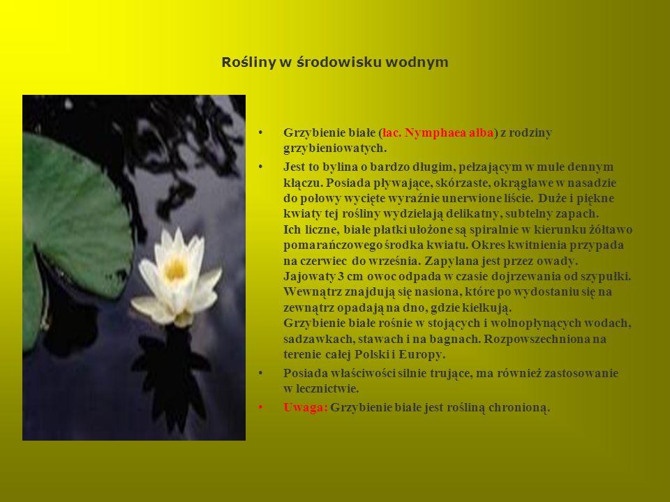 Rośliny w środowisku wodnym Grzybienie białe (łac. Nymphaea alba) z rodziny grzybieniowatych. Jest to bylina o bardzo długim, pełzającym w mule dennym