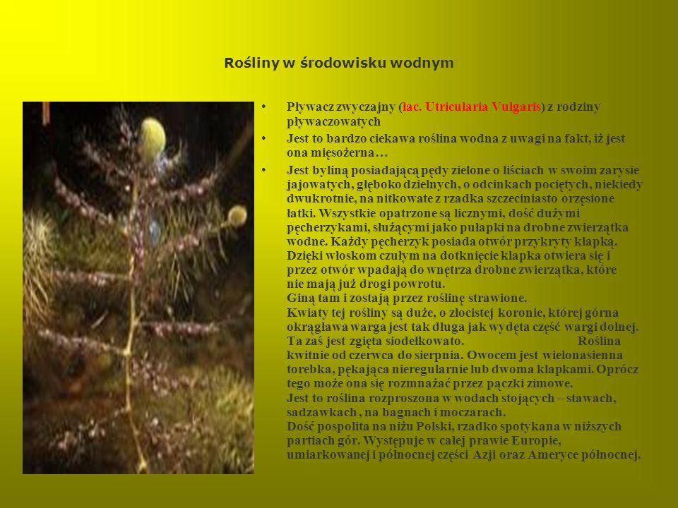 Rośliny w środowisku wodnym Pływacz zwyczajny (łac. Utricularia Vulgaris) z rodziny pływaczowatych Jest to bardzo ciekawa roślina wodna z uwagi na fak