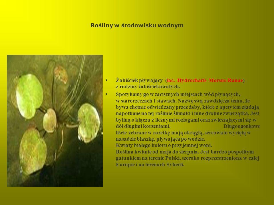 Rośliny w środowisku wodnym Żabiściek pływający (łac. Hydrocharis Morsus-Ranae) z rodziny żabiściekowatych. Spotykamy go w zacisznych miejscach wód pł