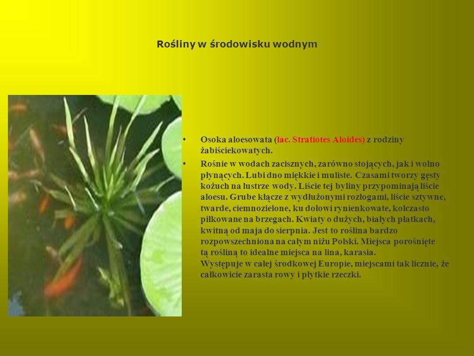 Rośliny w środowisku wodnym Osoka aloesowata (łac. Stratiotes Aloides) z rodziny żabiściekowatych. Rośnie w wodach zacisznych, zarówno stojących, jak