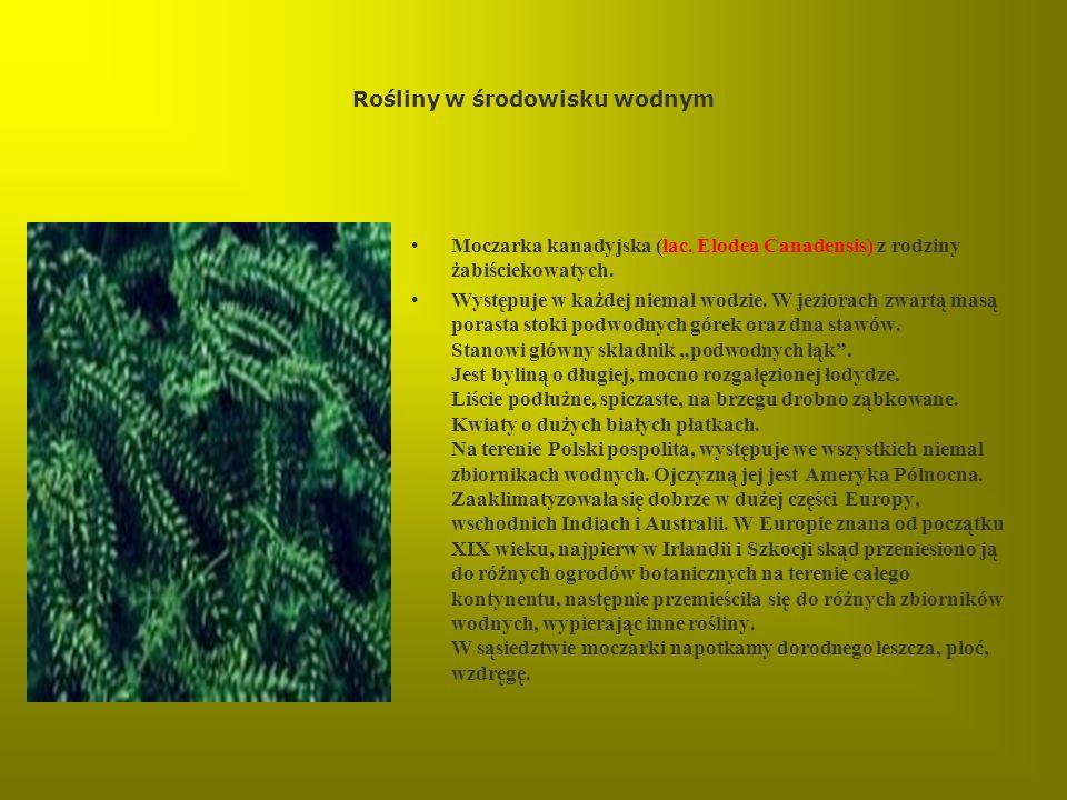Rośliny w środowisku wodnym Moczarka kanadyjska (łac. Elodea Canadensis) z rodziny żabiściekowatych. Występuje w każdej niemal wodzie. W jeziorach zwa