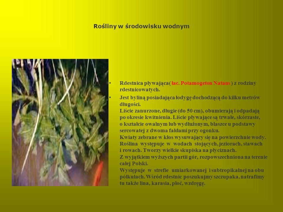 Rośliny w środowisku wodnym Rdestnica pływająca( łac. Potamogeton Natans ) z rodziny rdestnicowatych. Jest byliną posiadająca łodygę dochodzącą do kil