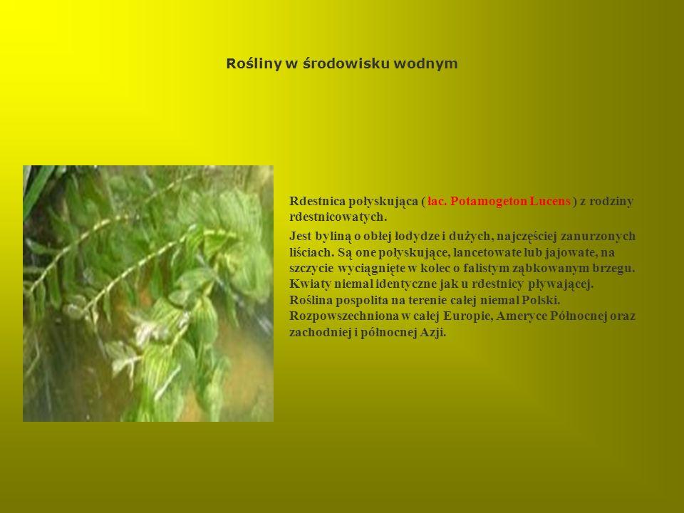 Rośliny w środowisku wodnym Rdestnica połyskująca ( łac. Potamogeton Lucens ) z rodziny rdestnicowatych. Jest byliną o obłej łodydze i dużych, najczęś