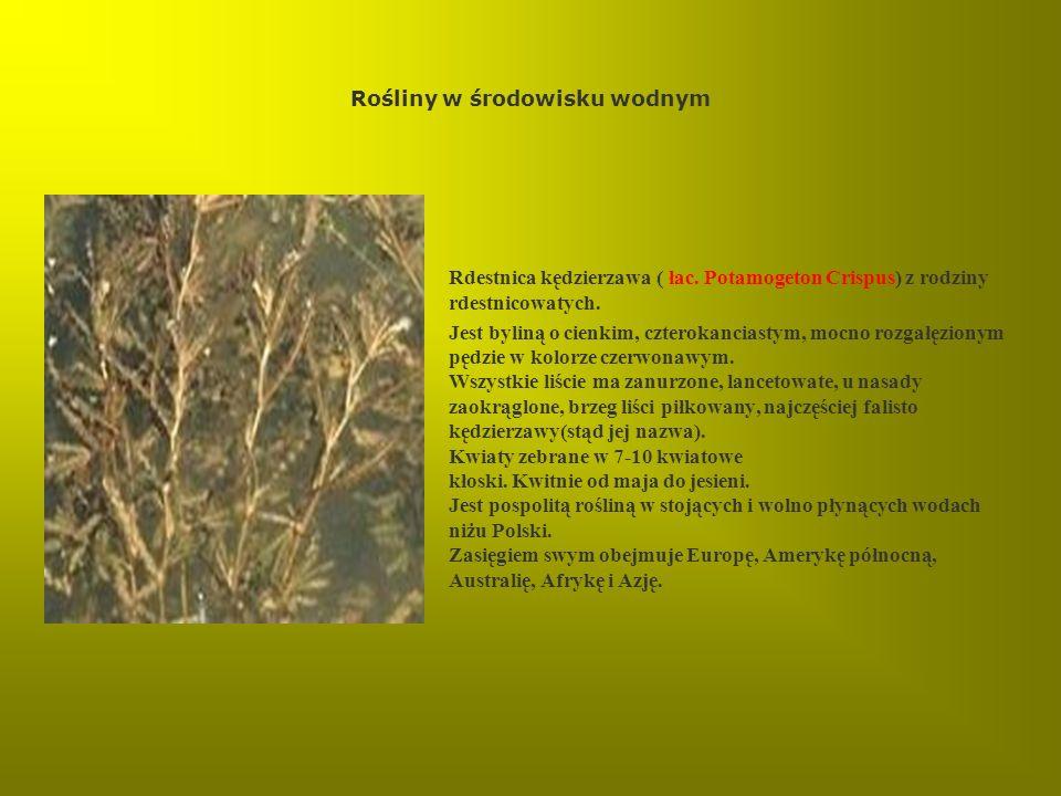 Rośliny w środowisku wodnym Rdestnica kędzierzawa ( łac. Potamogeton Crispus) z rodziny rdestnicowatych. Jest byliną o cienkim, czterokanciastym, mocn