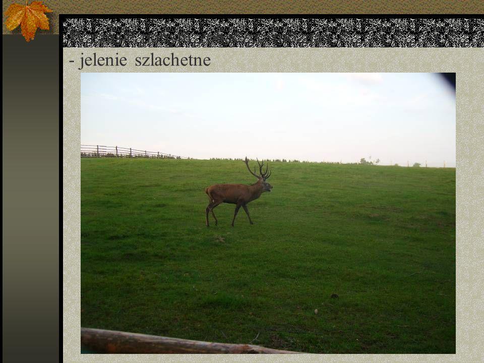 W czasie pobytu zobaczyć można: - jelenie szlachetne