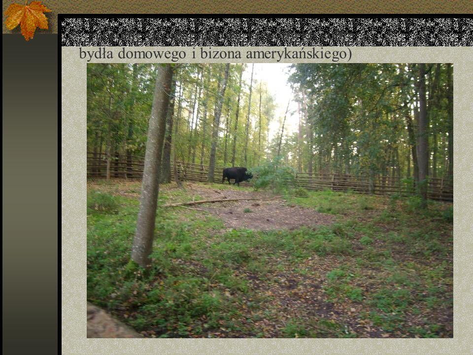 - żubronie (trójgatunkowa krzyżówka żubra, bydła domowego i bizona amerykańskiego)