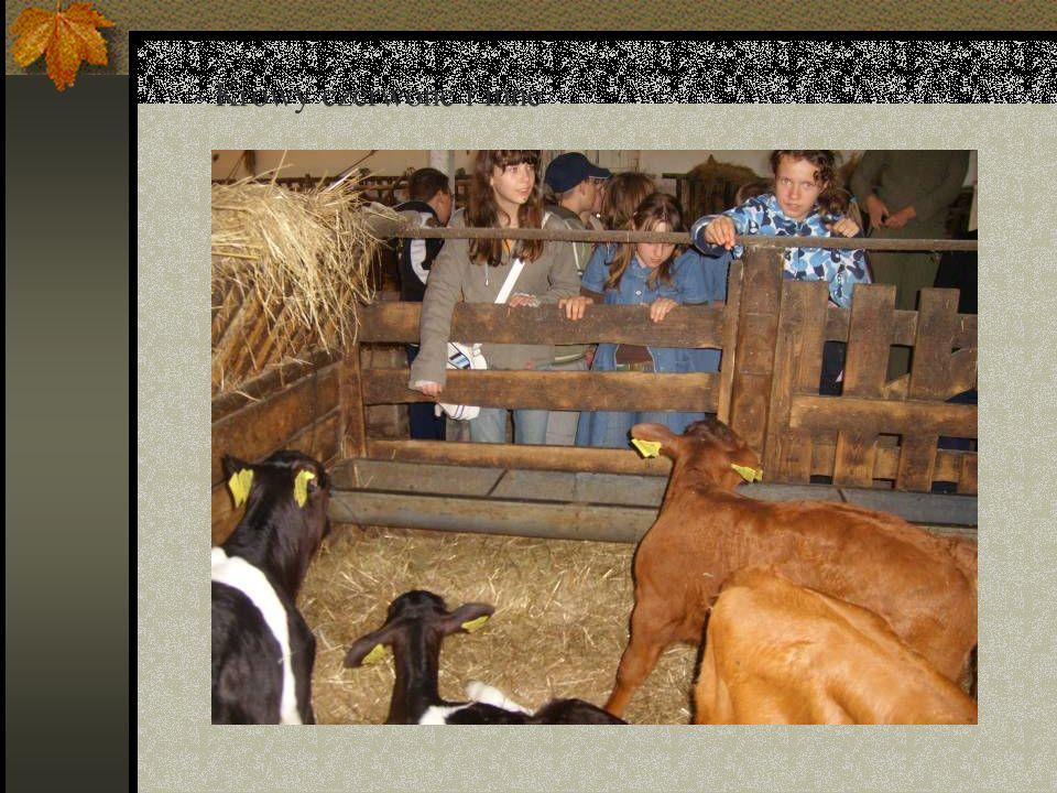 - Krowy czerwone i inne