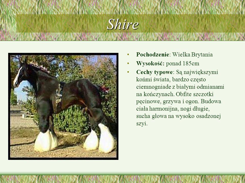 Shire Pochodzenie: Wielka Brytania Wysokość: ponad 185cm Cechy typowe: Są największymi końmi świata, bardzo często ciemnogniade z białymi odmianami na