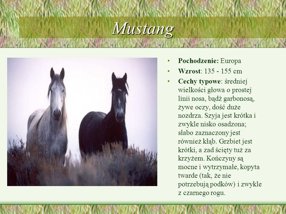 Mustang Pochodzenie: Europa Wzrost: 135 - 155 cm Cechy typowe: średniej wielkości głowa o prostej linii nosa, bądź garbonosą, żywe oczy, dość duże noz