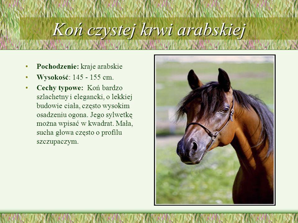 Koń czystej krwi arabskiej Pochodzenie: kraje arabskie Wysokość: 145 - 155 cm. Cechy typowe: Koń bardzo szlachetny i elegancki, o lekkiej budowie ciał