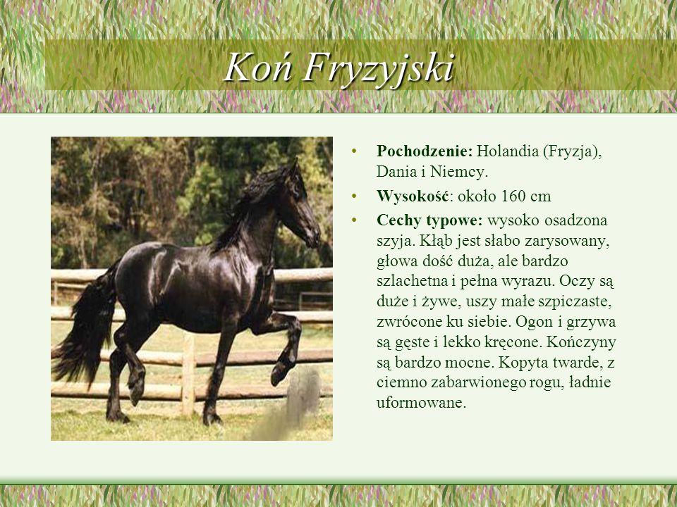 Koń Fryzyjski Pochodzenie: Holandia (Fryzja), Dania i Niemcy. Wysokość: około 160 cm Cechy typowe: wysoko osadzona szyja. Kłąb jest słabo zarysowany,