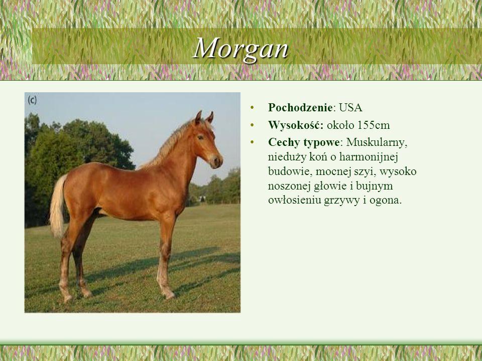 Morgan Pochodzenie: USA Wysokość: około 155cm Cechy typowe: Muskularny, nieduży koń o harmonijnej budowie, mocnej szyi, wysoko noszonej głowie i bujny