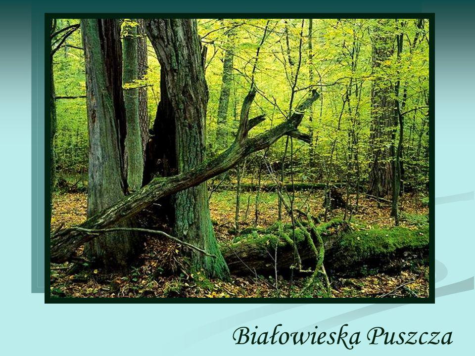 Puszcza Białowieska - rozległy kompleks leśny, pozostałość dawnych puszcz: Białowieskiej, Ladzkiej, Świsłockiej i Szereszewskiej, położony w województwie podlaskim oraz na Białorusi.
