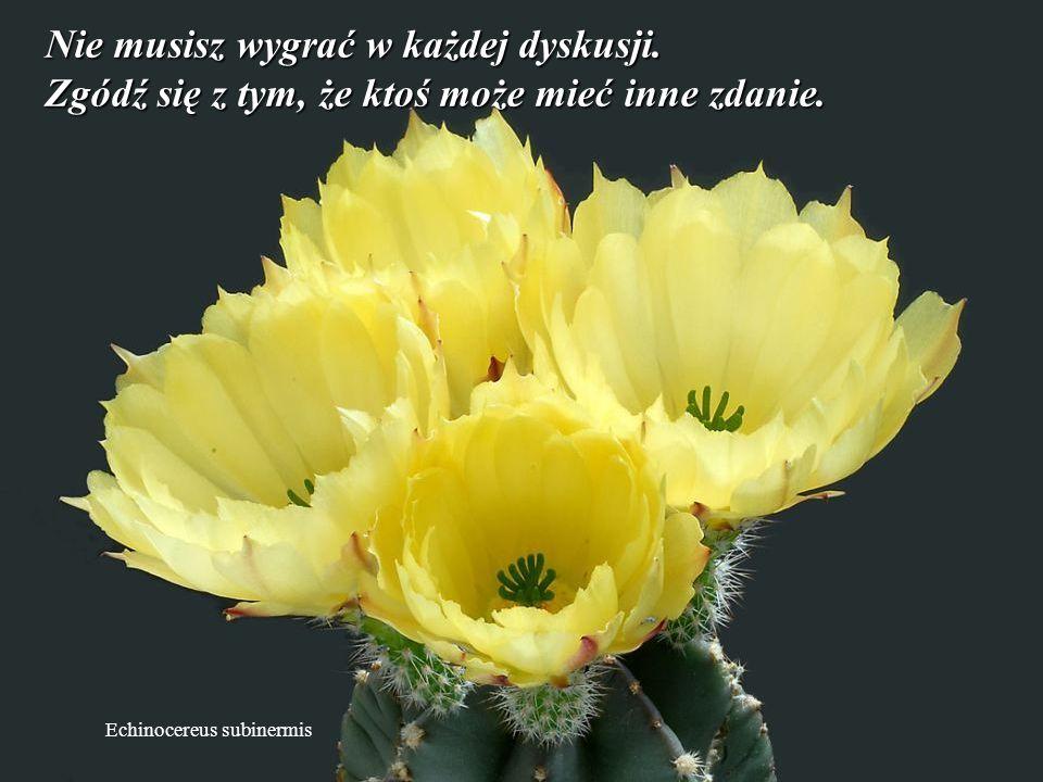 Discocactus pugionacanthus Zapomnij o minionych problemach. Nie wypominaj partnerowi jego (jej) wad, to może zniszczyć Twoje szczęście.