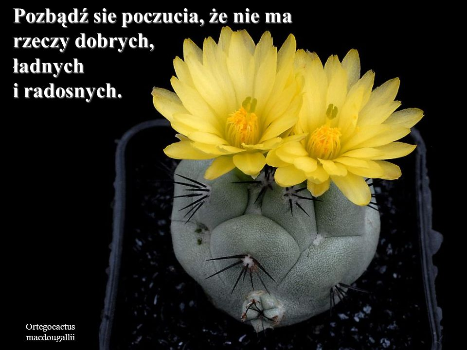 Mammillaria slevinii To co sobie myślą o Tobie inni ludzie, niech Cię nie martwi.