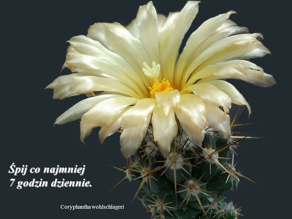 Mammillaria albiflora Nie trać cennej energii na głupstwa.