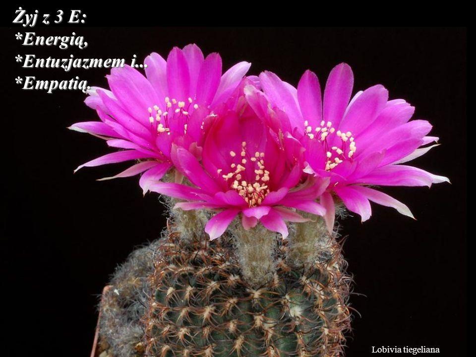 Lobivia tiegeliana Żyj z 3 E: *Energią, *Entuzjazmem i... *Empatią.