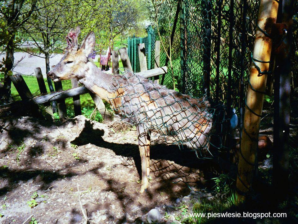 20 www.pieswlesie.blogspot.com