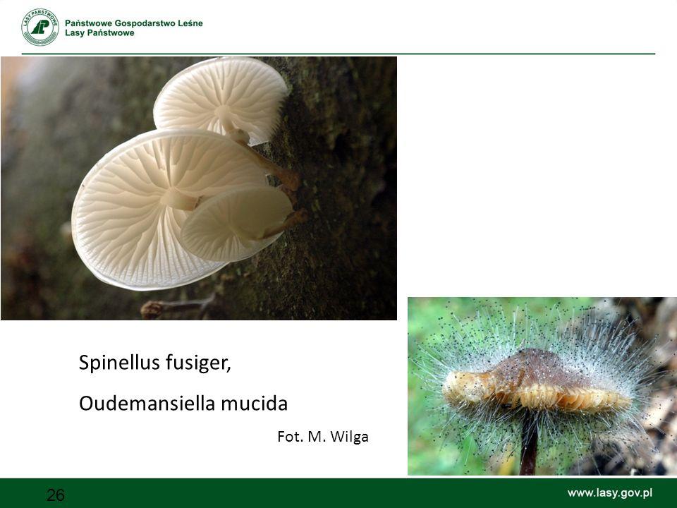 26 Spinellus fusiger, Oudemansiella mucida Fot. M. Wilga